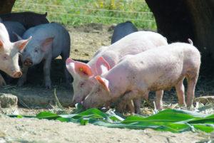 Porc Gaec le Champenois